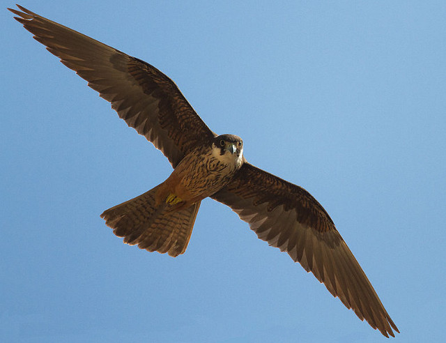 Eleonoras Falcon at Cap Formentor on Mallorca. Bird Watching in Balearic Islands