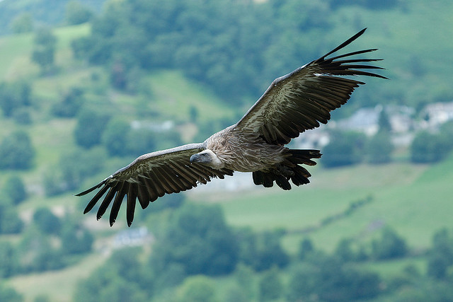 Birding Griffon Vulture at Pyrenees