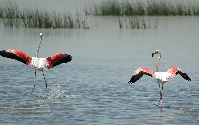 Doñana marshlands. Flamingos