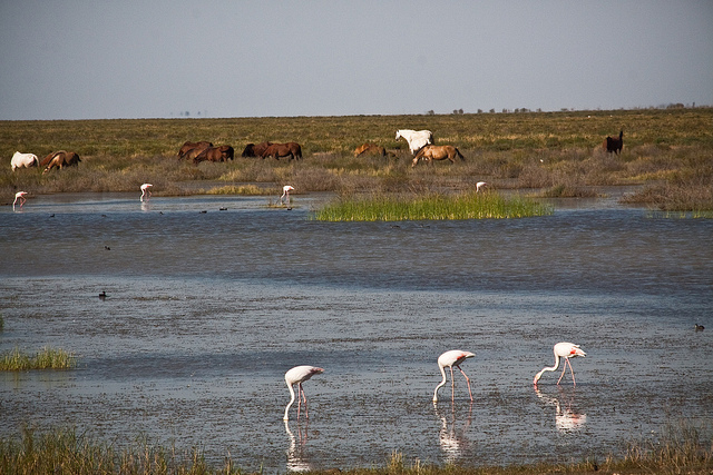Doñana marshlands. Flamingos and horses
