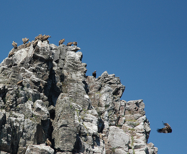 Vultures in Pena Falcon, in Monfrague National Park, Extremadura, Spain